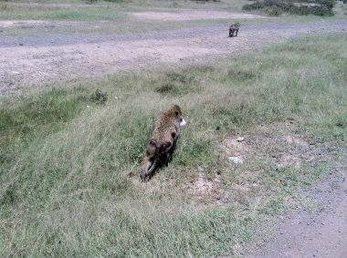 I saw these baboons in Kenya recently.